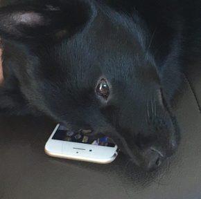Собака, два iPhone и Air Pods — как животные уживаются с техникой Apple
